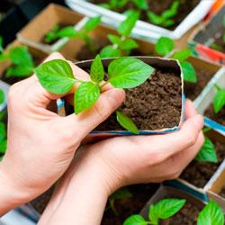 Посадка семян, выращивание рассады