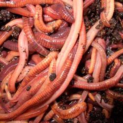 Точное количество червей