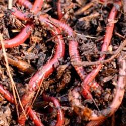 Живые и активные черви